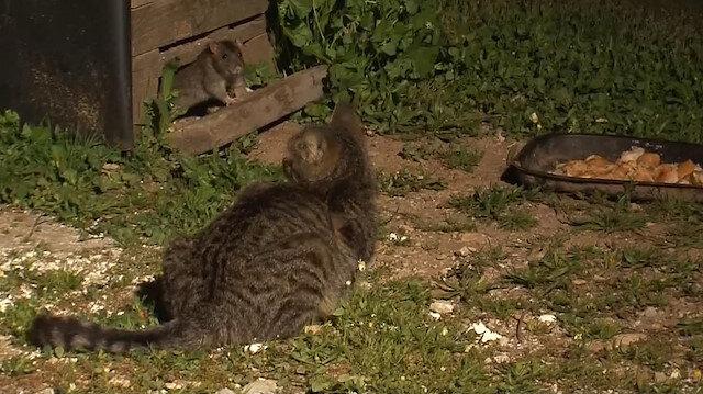Farelerin dadandığı yemeğin başında nöbet tutan kediler