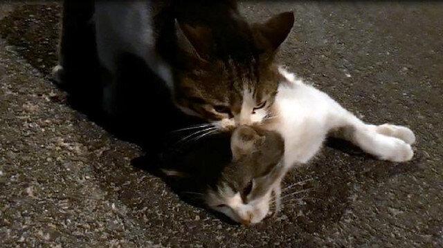 Kedinin görenleri hüzünlendiren çabası