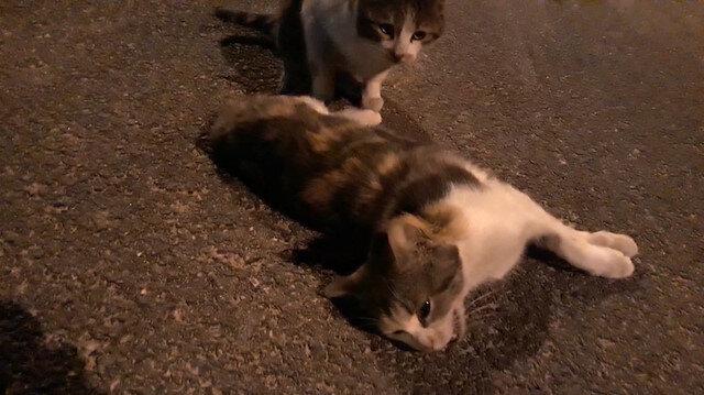 Ölen arkadaşını uyandırmaya çalışan kedi hüzünlendirdi