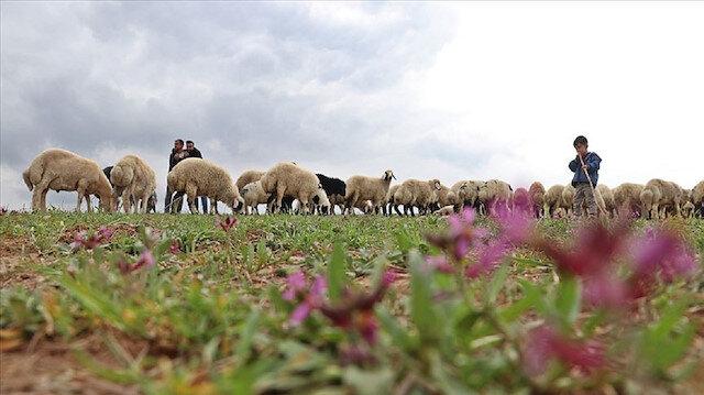 Hafta içi mühendis hafta sonu çoban kardeşler