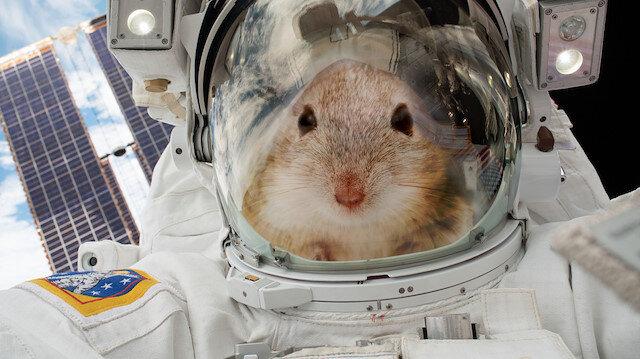 NASA'nın uzaya gönderdiği fareler ortama uyum sağladı