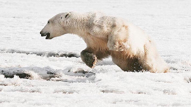 Yönünü kaybeden kutup ayısı köyde yiyecek aramaktan bitap düştü.