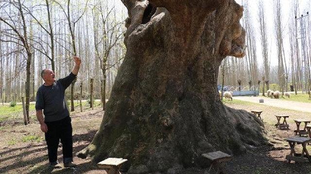 1200 yıllık çınar anıt ağaç olarak tescillendi