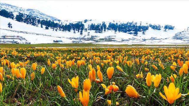 Karla kaplı Toroslar çiğdemlerle bir başka güzel
