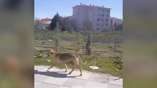 Yavruları için yemek kabını ağzında kilometrelerce taşıyan köpek