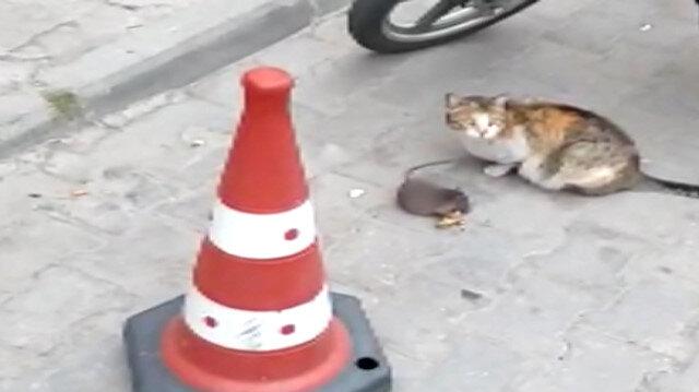 Kurnaz fare ölü taklidiyle kedinin peynirini kaptı