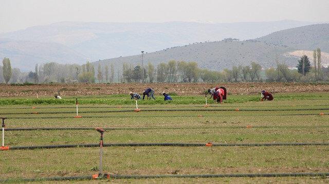 Amasya'da soğan ekim alanı arttı.