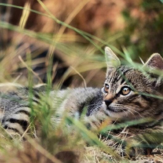 Avustralya 2 milyon kediyi öldürecek