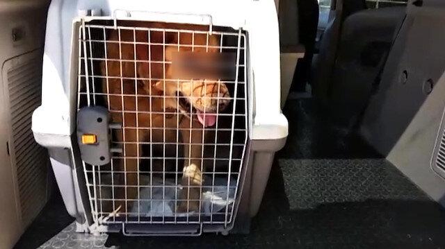 İki gözü oyulmuş Golden cinsi köpek bulundu