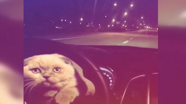 Kedisini aracının direksiyona koyarak yolculuk yaptı