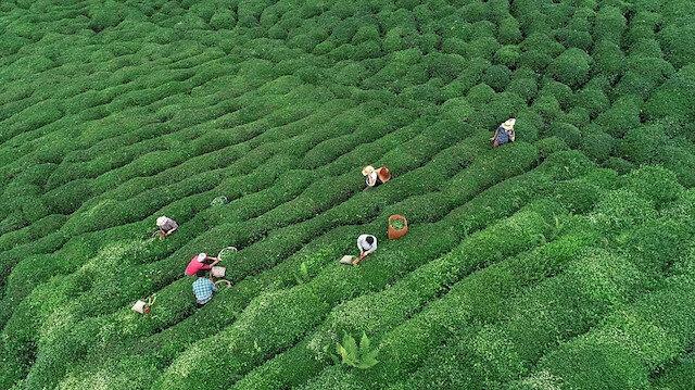 2019 yılı yaş çay alım fiyatları açıklandı.