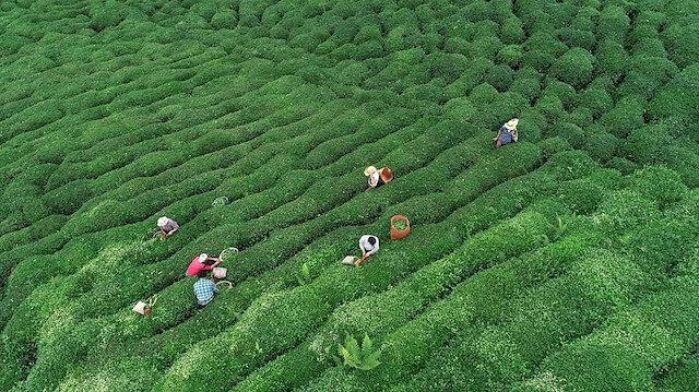 Çay alım fiyatları bugün açıklanacak