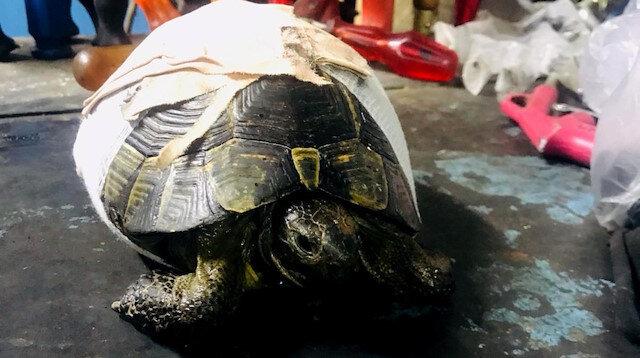 Yolda bulunan kaplumbağa bir süre sonra doğal hayatına dönecek.