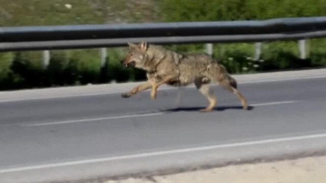 Kara yoluna inen kurt böyle görüntülendi