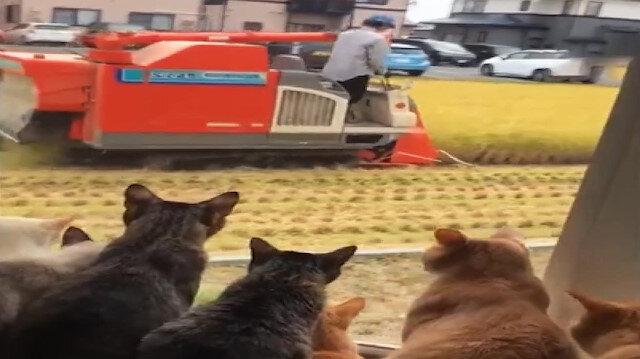 Kedilerin çiftçiyi pür dikkat izlemesi gülümsetti