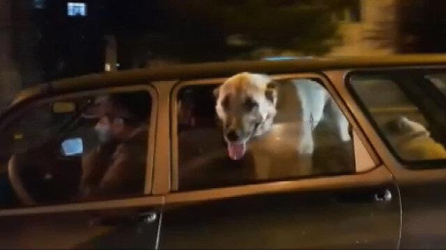 Kangal köpeklerinin yolculuğu görenleri şaşırttı