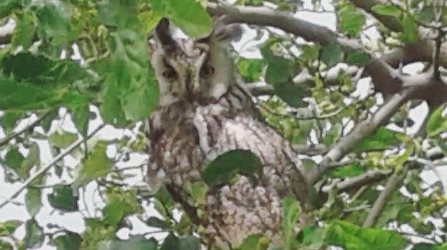 Ağaçta görüntülenen boynuzlu baykuş.