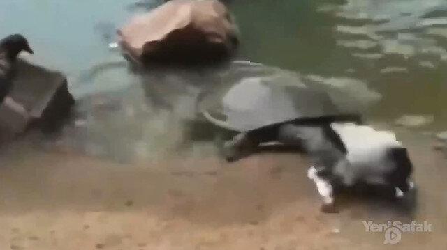 Kaplumbağa güvercini tek hamlede avladı