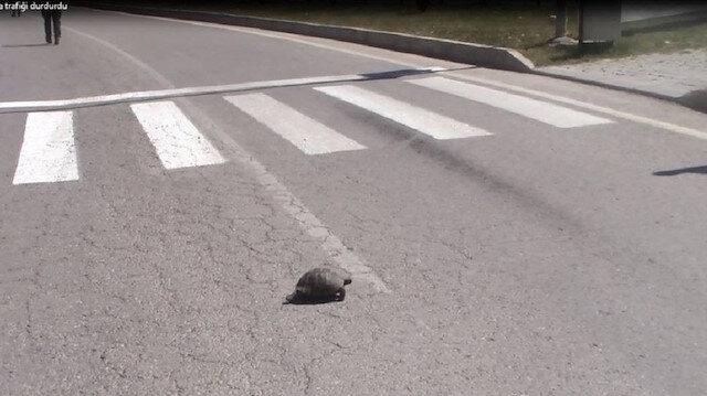 Karşıdan karşıya geçen kaplumbağa trafiği durdurdu