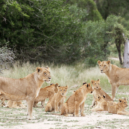 Fourteen lions escape nature park in South Africa