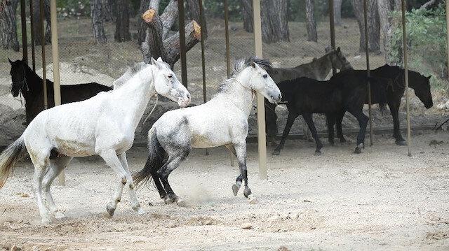 Atlar yeni yuvaları Antalya Hayvanat Bahçesi'ne getirildi.