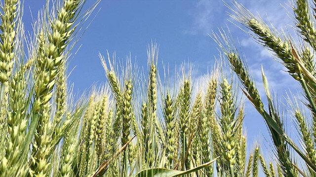 Bahri Dağdaş Uluslararası Tarımsal Araştırma Enstitüsü'nde geliştirilen Taner isimli buğday