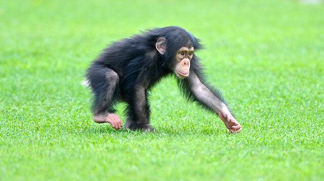 İngiltere'nin batısında 2011'de bir baskında şempanze eti ele geçirilmişti.