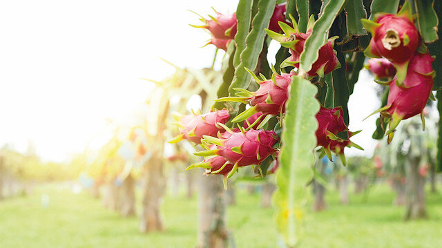 Tropikal meyve pazarı radarda