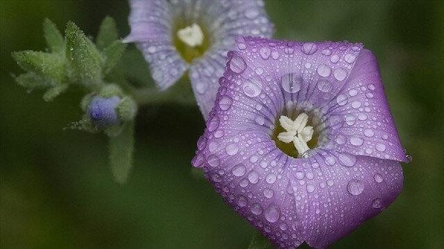 Birçok fotoğraf tutkunu, çiçeklerin çiğ taneleriyle buluştuğu sabah saatlerinde oluşan görsel şöleni karelerine yansıtmak için bölgeye gidiyor.