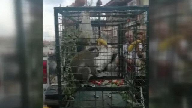 Bir süredir mahallede dolaşan sahipsiz maymun yakalandı