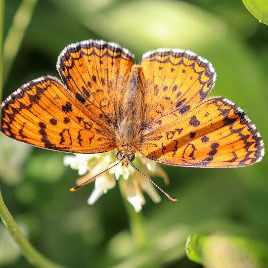 محبو الفراشات يوثّقون نوعًا نادرًا شرقي تركيا
