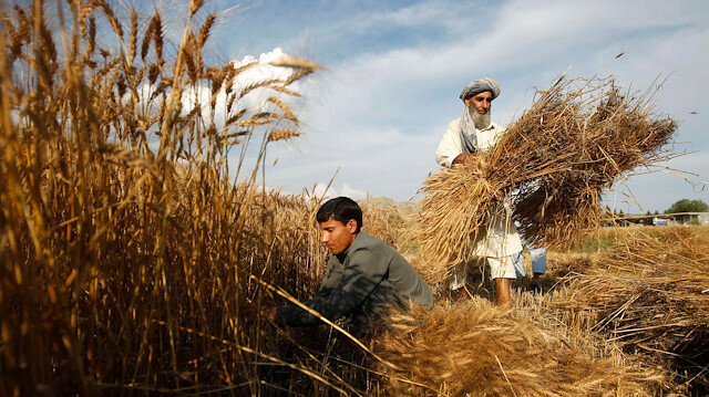 Drought or bumper crop, woes stay for Afghan farmers