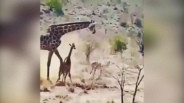 Anne zürafa yavrusunu aslanların eline bırakmadı