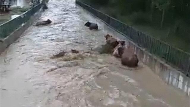Kastamonuda 8 büyükbaş hayvan sele kapılıp kayboldu