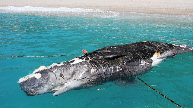 Muğlada karaya vuran ölü balina görenleri korkuttu
