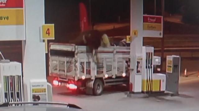 Dev tosun kamyondan böyle atladı