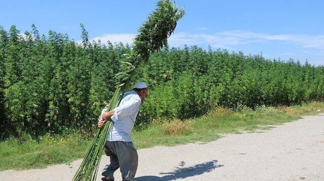 Samsun'un Vezirköprü ilçesinde 150 yıllık yerli tohumla ekilen kenevirlerin boyu 5 metreye ulaştı.