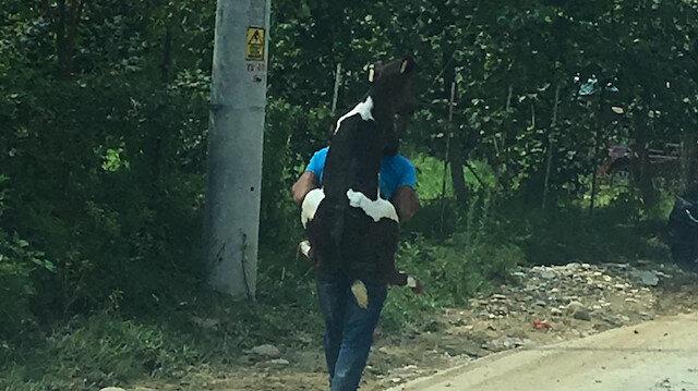 Düzce'de bir vatandaş, bacağı yaralandığı için yürüyemeyen buzağıyı sırtına alarak güveli bir yere taşıdı.