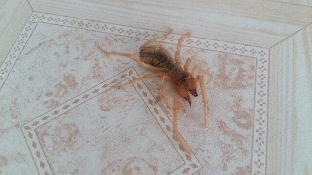 Kahramanmaraş'ta görülen örümcek korkuttu