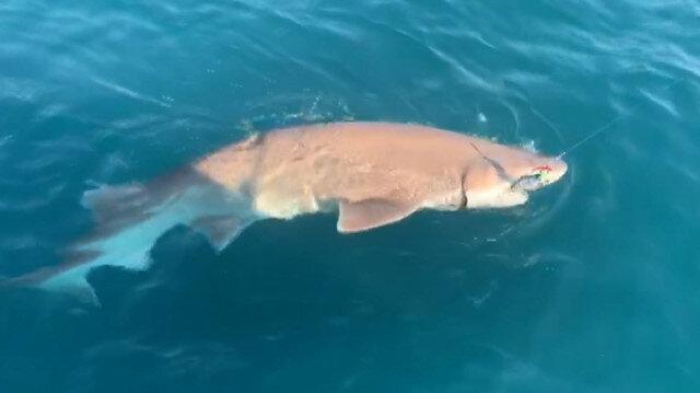 Çanakkalede oltaya 4 metrelik köpek balığı takıldı