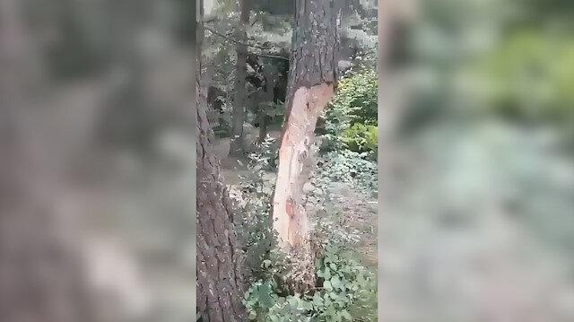 Piknikçiler çıra için ağaç gövdelerini oydu