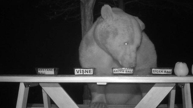Tesise dadanan ayılara bal testi yaptırdı