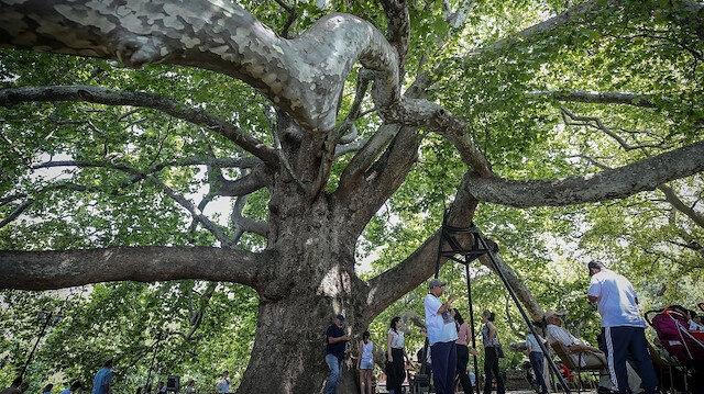 """شجرة """"إينكايا"""" التركية.. شاهد تاريخي يتجاوز 6 قرون"""