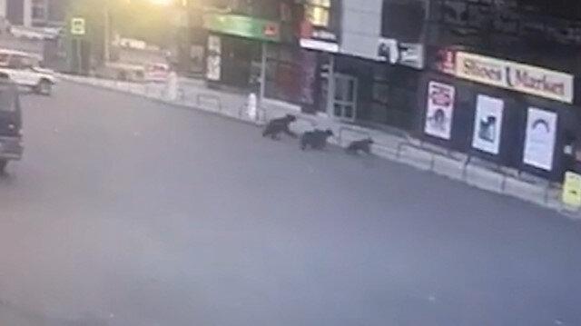 Şehre inen ayı ve 3 yavrusunu polis kovaladı