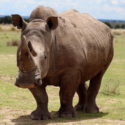 Saving northern white rhinos: Scientists hit milestone