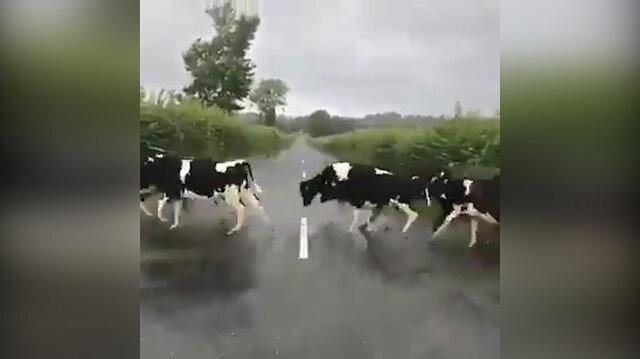 Beyaz şeridi görünce atlamaya çalışan inekler izleyenleri güldürdü