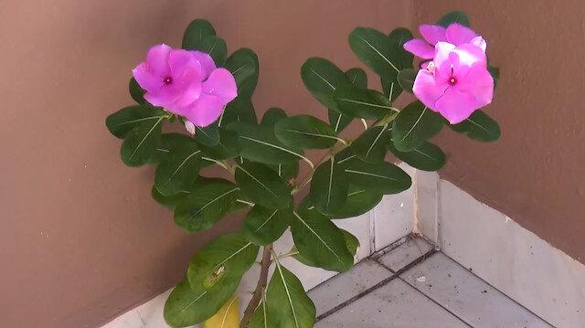 Beton duvarda açan linda çiçeği görenleri şaşırtıyor