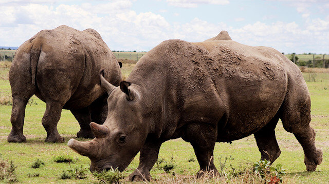 File photo: Last Northern white rhinos in Kenya at the edge of extinction
