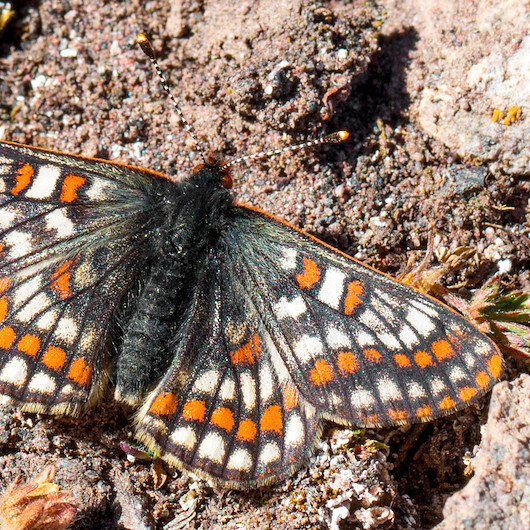 Endangered butterfly observed 50 years later in Turkey