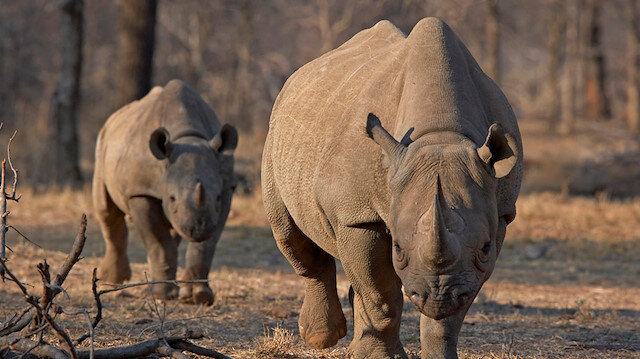 FILE PHOTO: An endangered east African black rhinoceros and her young one walk in Tanzania's Serengeti park, May 21, 2010. REUTERS/Tom Kirkwood/File Photo